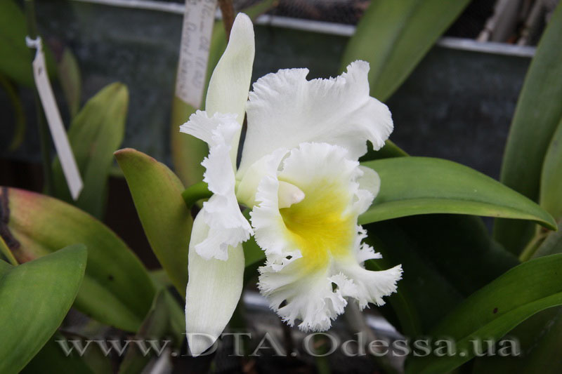 Cattleya 'Queen Sirichit'
