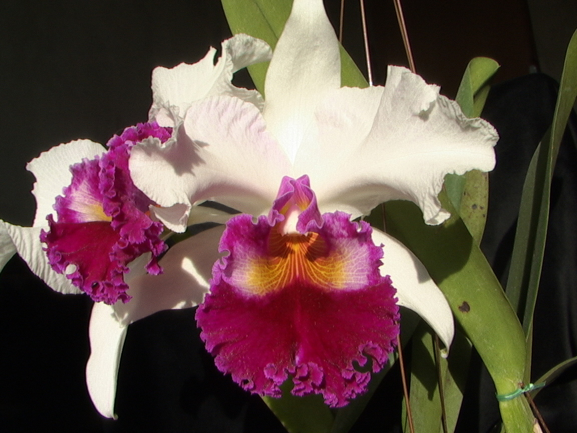 Cattleya, Unknown Hibrid
